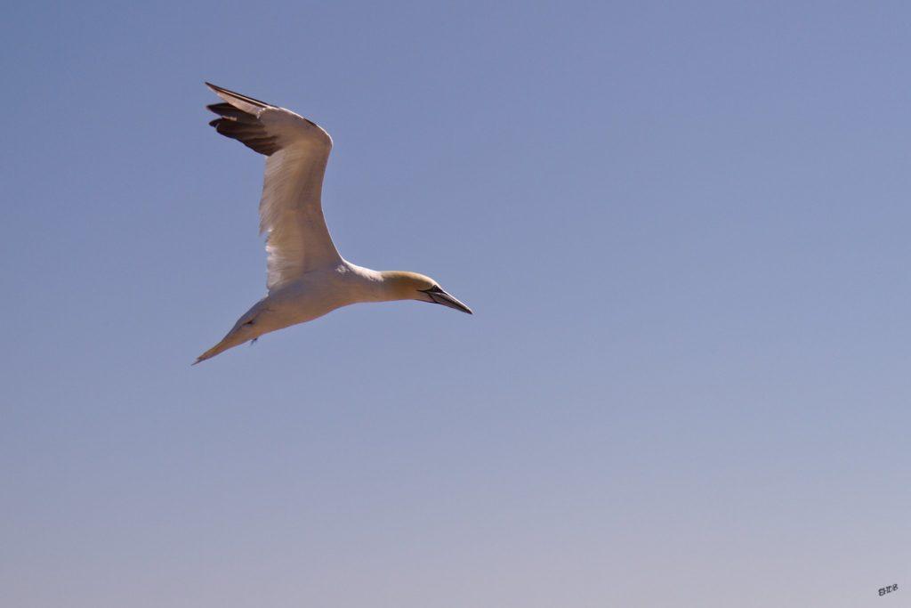 Vole d'un Fou de Bassan sur l'ile de Bonaventure en Gaspésie (Canada)