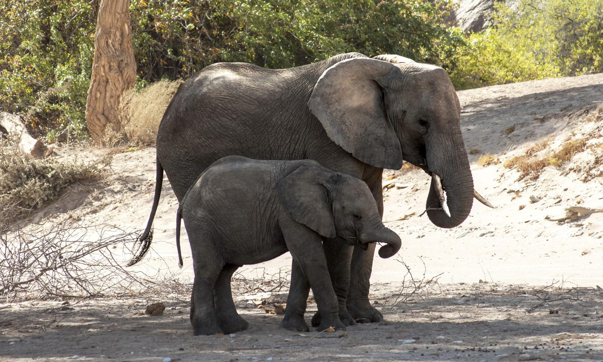 éléphant Etosha