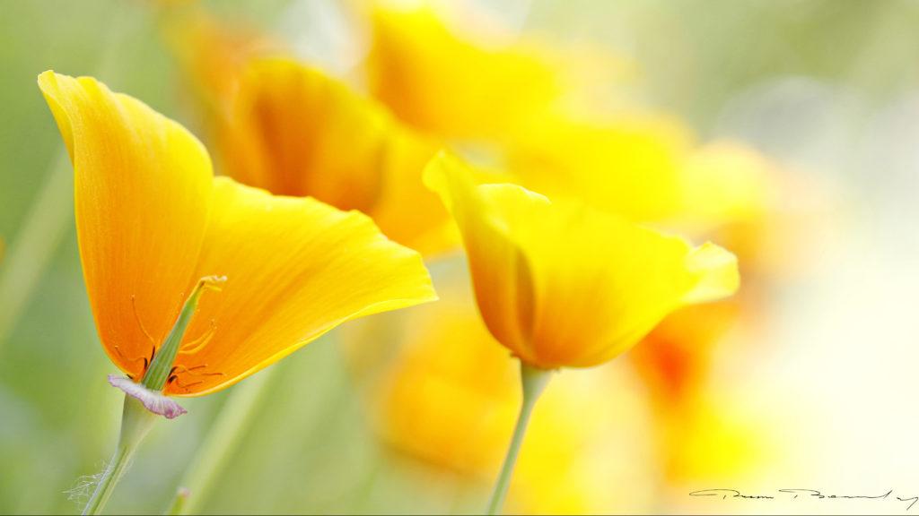 floral, fleur, jaune, escholtzia,