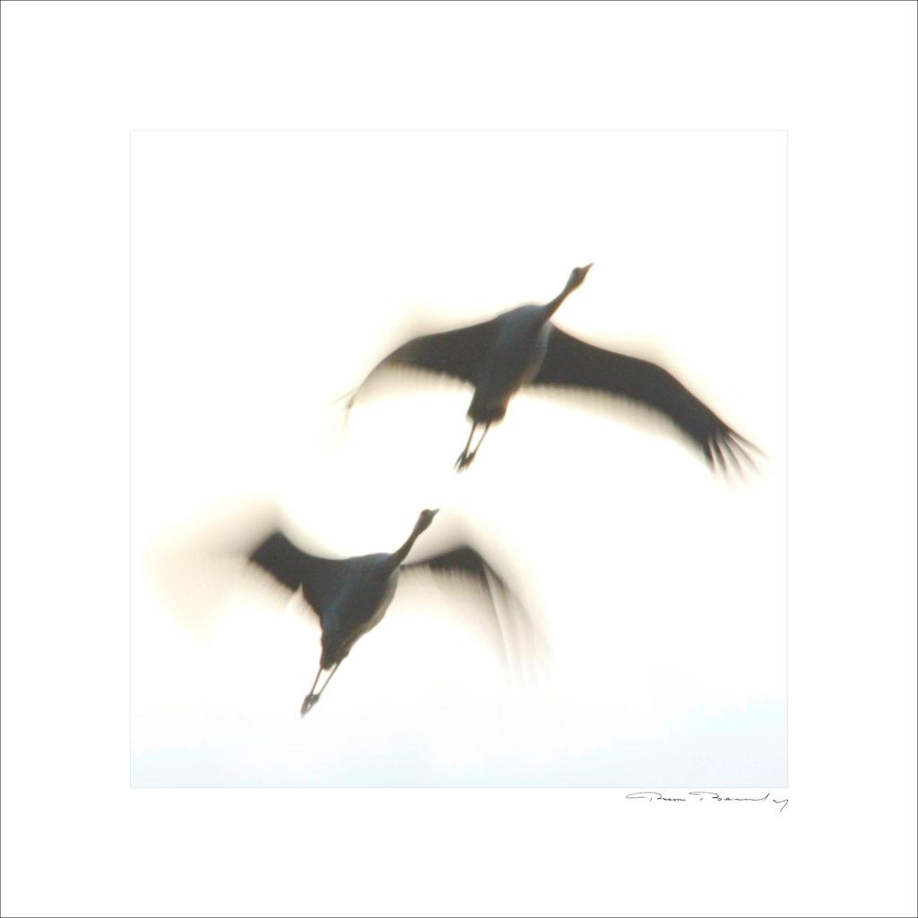 grues,crane bird