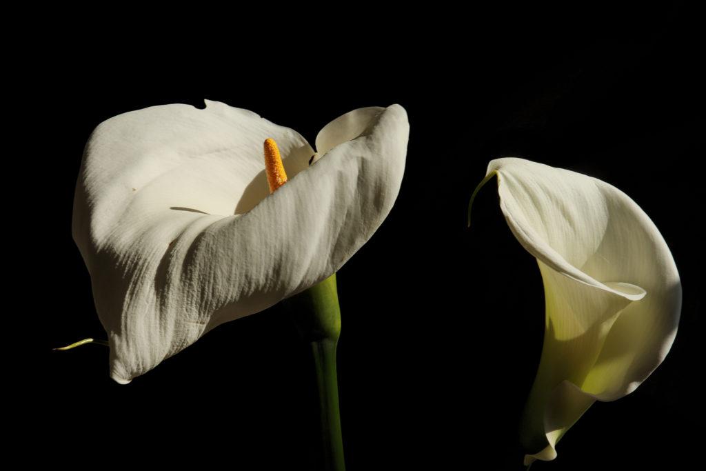 Fleurs Arum