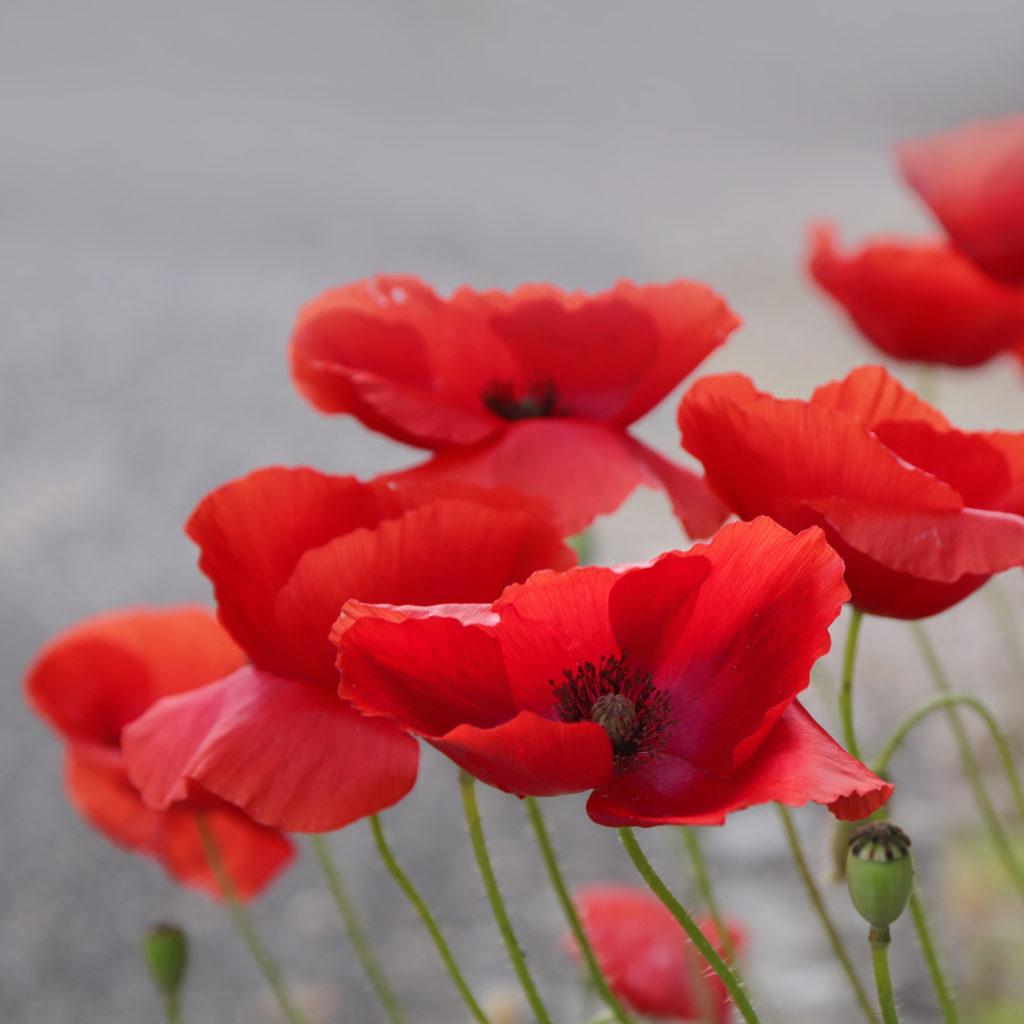 Fleurs Coquelicots