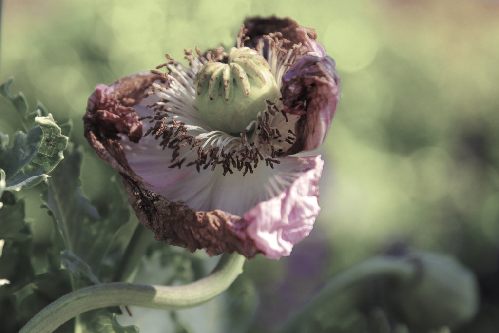 Fleur Pavot