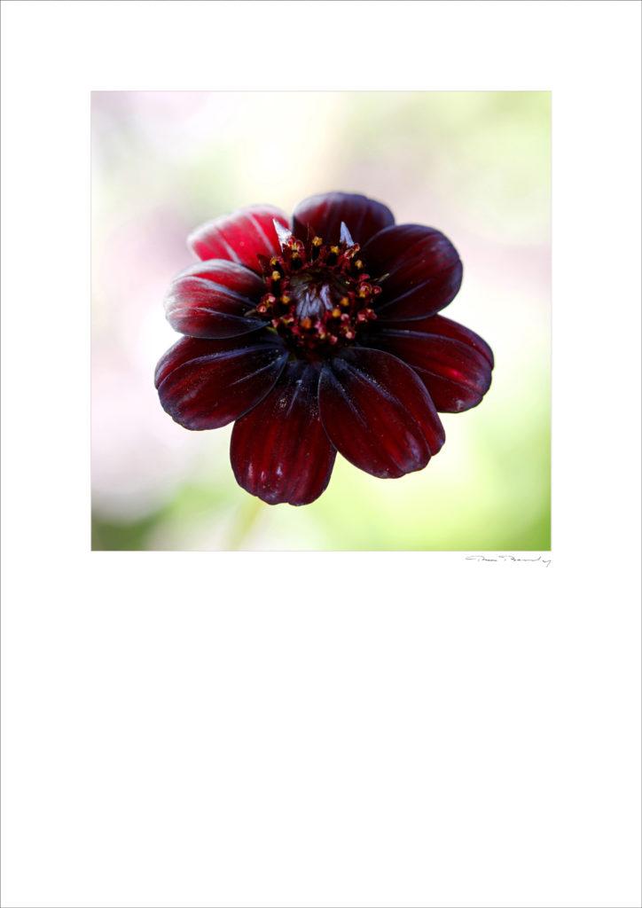 Pierre Boulay, Pio, Photo florale, flore, fleur, dahlia, ombre et lumière