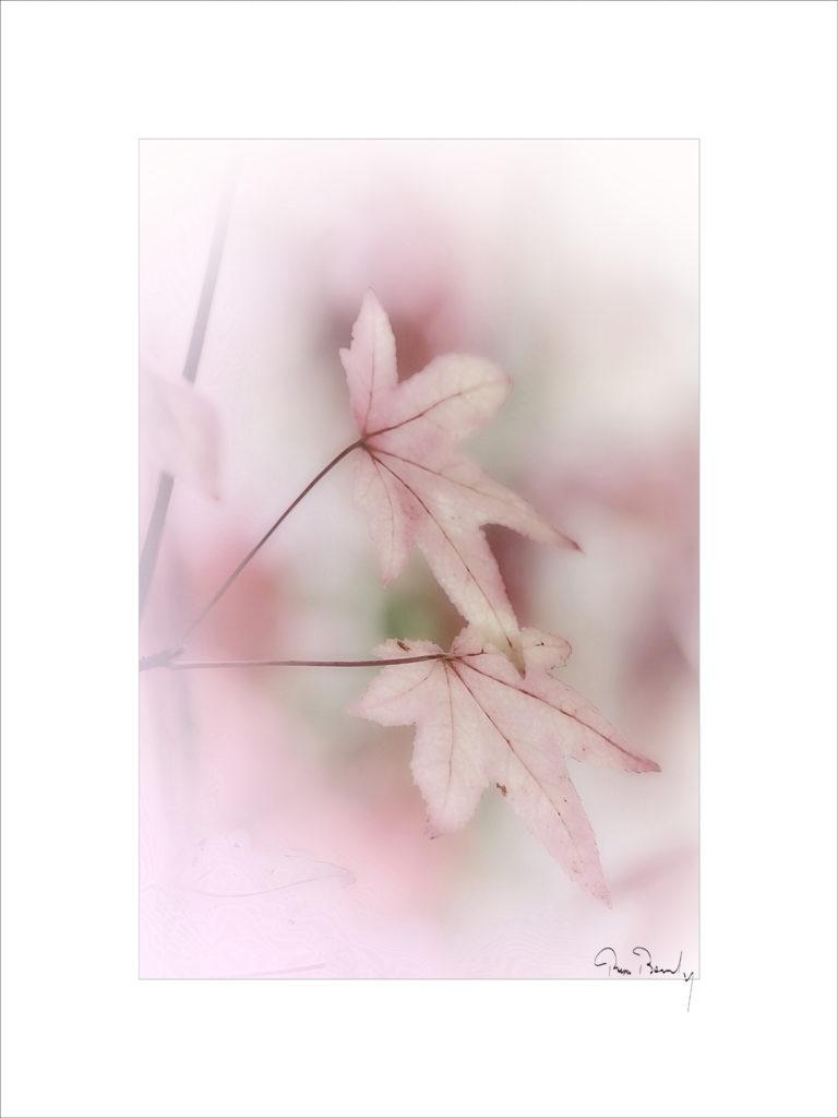 Pierre Boulay, Pio, Feuille d'automne, parrotie de Perse,poésie florale