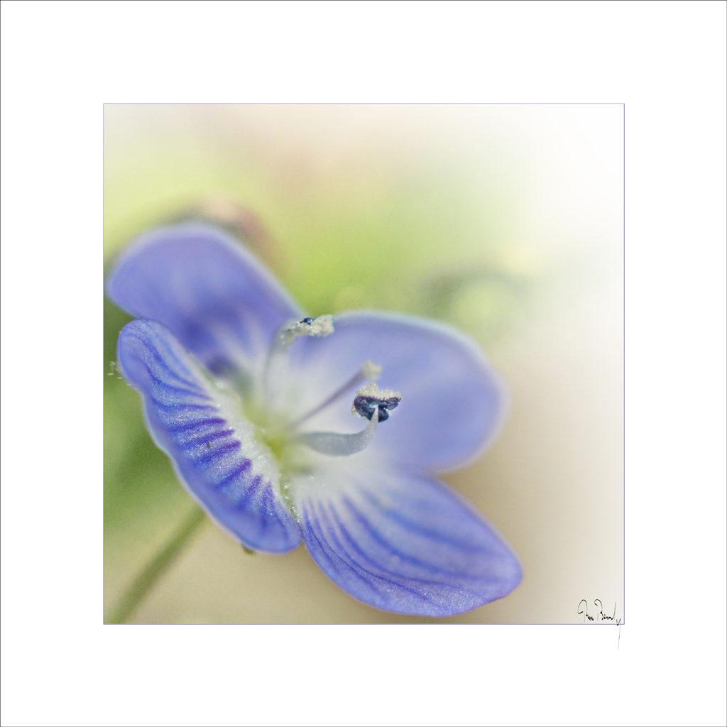 flore, véronique