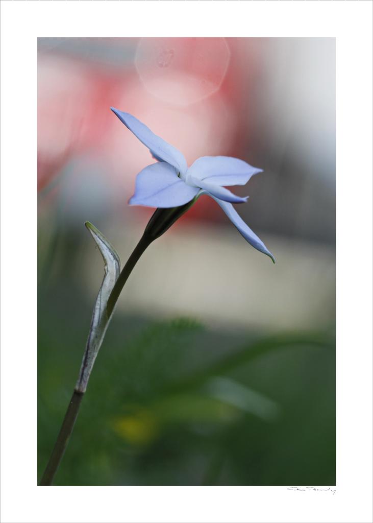 flore, iphéion